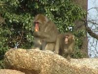 Affen im Zoo Berlin