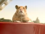 Star-Hamster Hank: Bekommt er eine Wachsfigur?