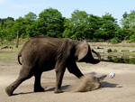 Fußball-WM Achtelfinale: Elefanten-Orakel tippt auf deutschen Sieg
