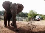 Fußball-WM: Elefanten-Orakel Nelly tippt im Finale auf Deutschland