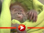 Orang-Utan-Baby stellt sich in Berlin vor