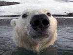 Neue BBC-Doku: Den Eisbären ganz nah