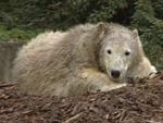 Eisbär Knut: Todesursache endgültig geklärt