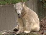 Knut: Woran starb der Kult-Eisbär?