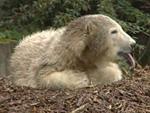 Eisbärpärchen Knut und Gianna: PETA warnt vor Inzucht