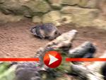 Die Murmeltiere beziehen ihr Gehege
