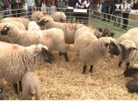 """Bei der Premiere von """"Shaun das Schaf"""" in Berlin gab es auch echte Schäfchen zu bestaunen"""